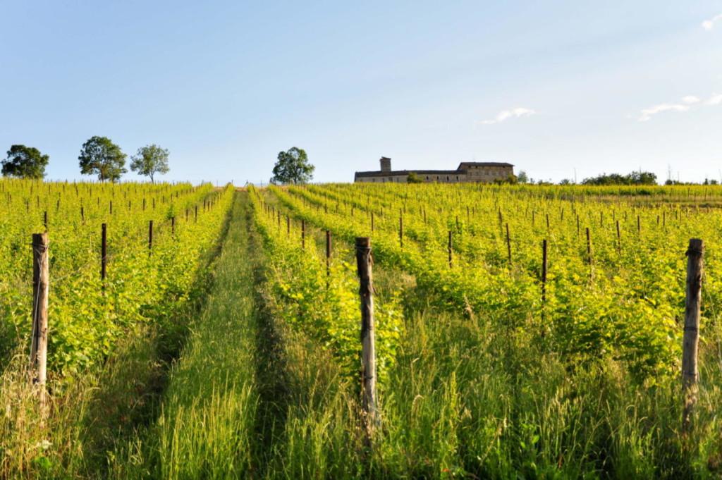 vigne figno