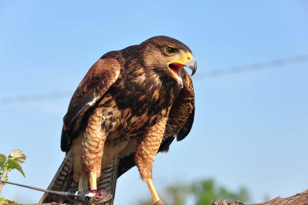 falco di harris aljano